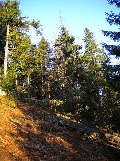 Bór górnoreglowy na Mogielicy. Fot. Ł. Kajtoch
