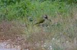 Dzięcioł zielony obserwowany w szpalerze brzóz rosnących przy Wygodzie fot. Tomasz Gustyn