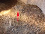 Inne gniazdo jerzyka na stercie siana - tym trazem nieco z boku kopki. Fot. Mariusz Grzeniewski