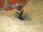 Gniazdo jerzyka na stropodachu ocieplonym wełną mineralną. Fot. Mariusz Grzeniewski