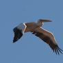 Pelikan różowy.