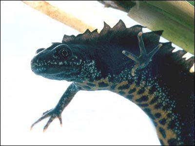Salamandrowate (Salamandridae)