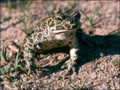 Ropuchowate (Bufonidae)