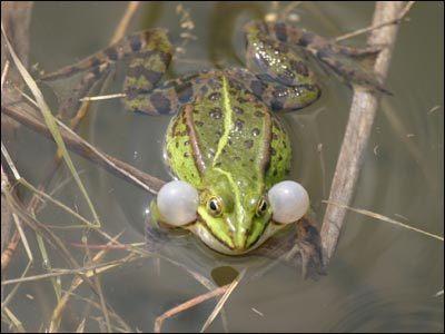 Żaby zielone