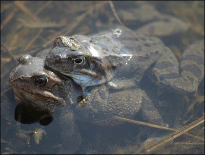 Żaby brunatne