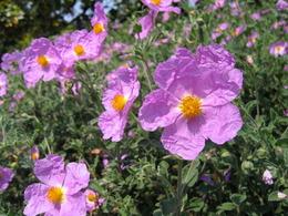 Kwiaty czystka.jpg