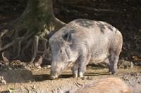 Czy wirus afrykańskiego pomoru świń trafił do naszego powiatu ? - artykuł z portalu https://konecki24.pl