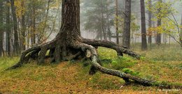 Nitka_Baltyk_drzewo.JPG