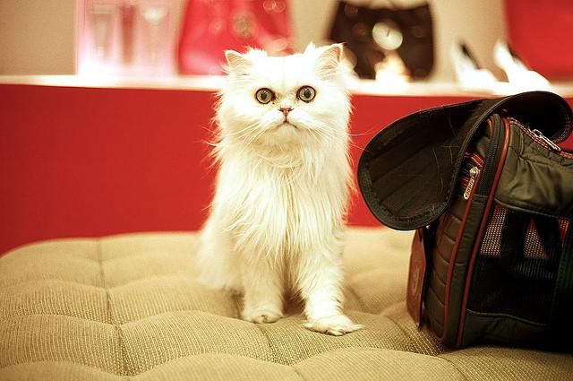 Rasy Kotów Kot Perski
