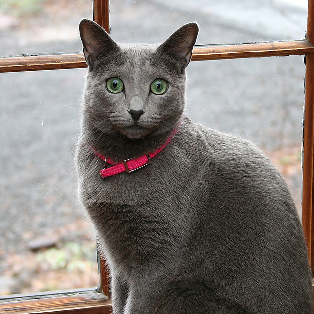 Rasy Kotów Kot Rosyjski