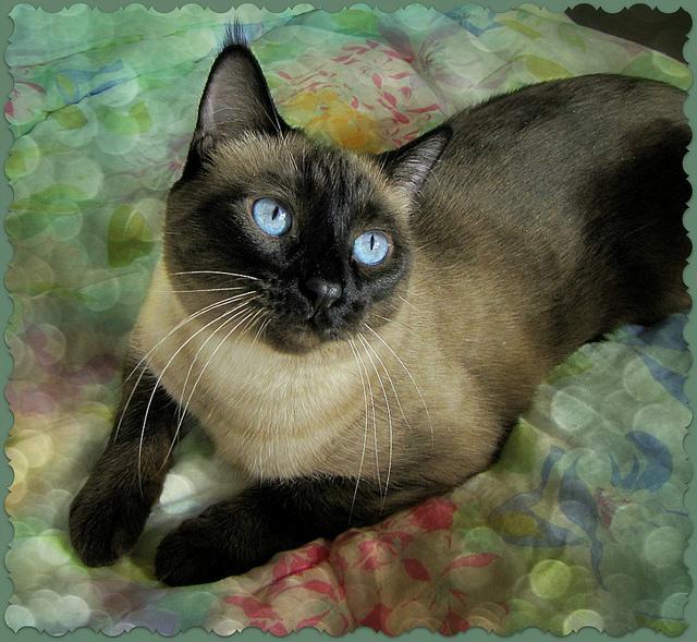Rasy Kotów Kot Syjamski