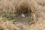 Głównym celem projektu jest czynna ochrona lęgów błotniaka łąkowego. Fot. D. Krupiński